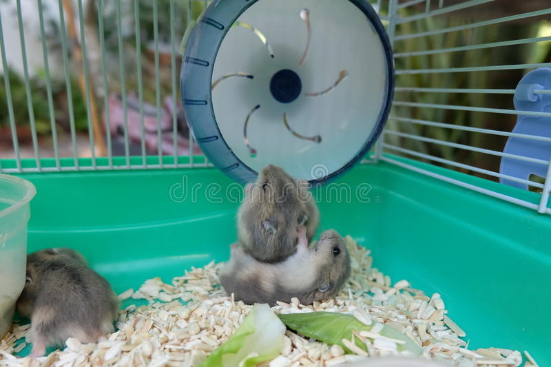 Baby Winter White Hamsters royalty free stock photos