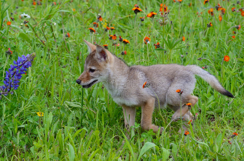 Baby wolf cub in field of wildflowers. stock photos
