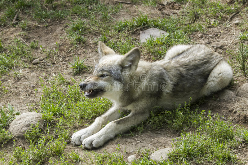 Baby grey wolf waiting to eat stock image