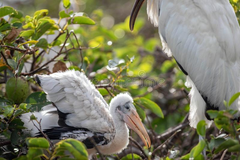 A baby wood stork watched over by the mother bird royalty free stock photos
