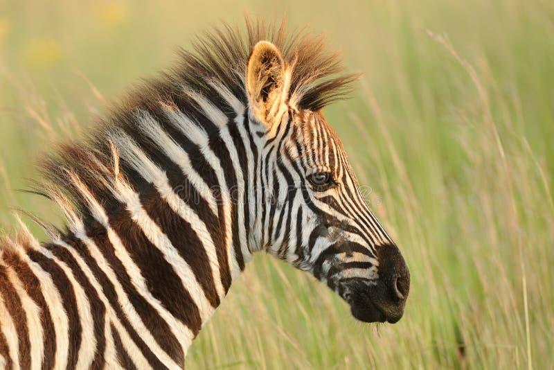 Baby Zebra royalty free stock photography