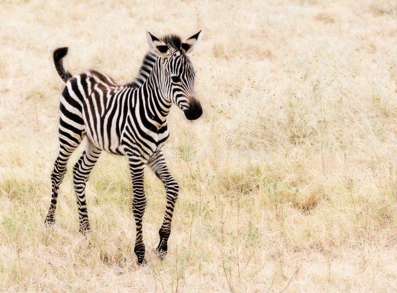 Baby Zebra. An adorable baby Zebra walking royalty free stock photo