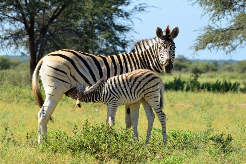 Baby zebra at breast-feeding. In Khama reservation in south of Botswana stock image