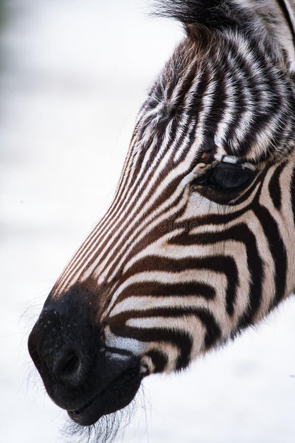 Baby zebra stock photography