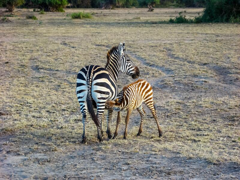 Baby zebra drink milk, Maasai Mara NR, Kenya royalty free stock photography
