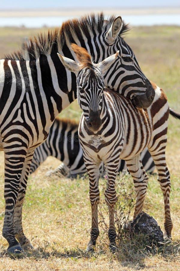 Baby zebra with mother stock photo