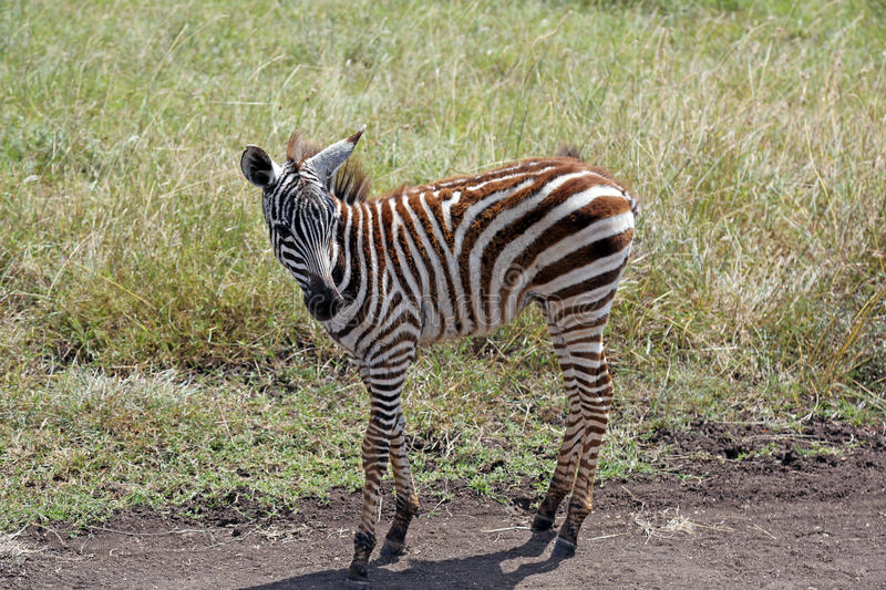 Baby zebra in Nairobi, Kenya. Baby zebra walking in Nairobi, Kenya stock photography