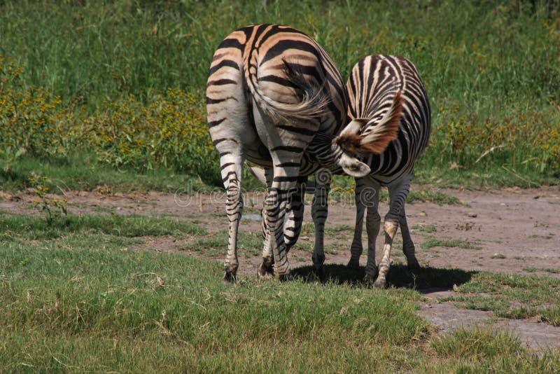 Download Baby Zebra Nurses stock photo. Image of texture, animal - 8764090