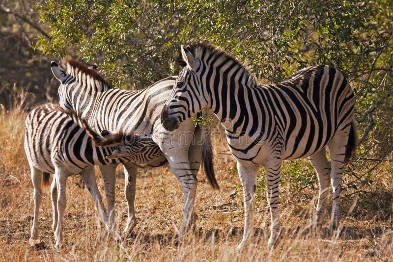 Baby Zebra Nursing royalty free stock images