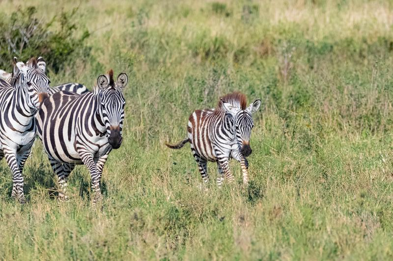 A baby zebra running in the savannah royalty free stock photo