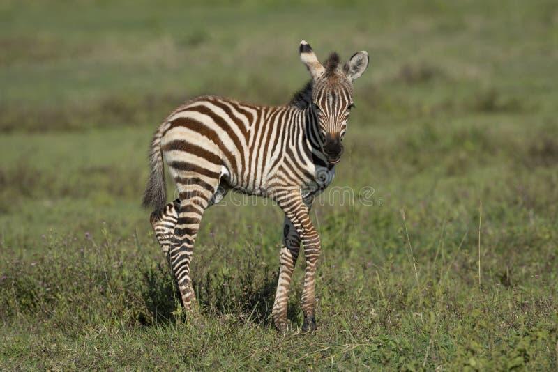 Baby Zebra Standing On Green Grass Side View In Ngorongoro ...
