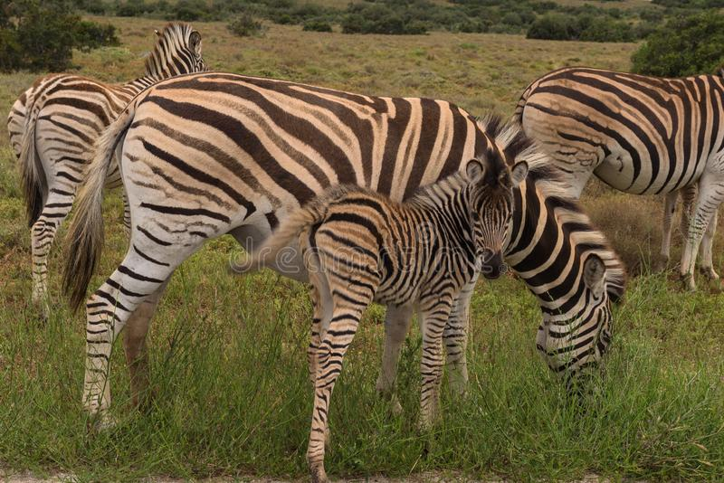 Baby zebra staying close to its mother on the savannah of Addo Elephant Park. South Africa stock image