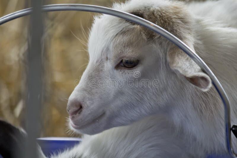 Baby-Ziegen-Kind stockfotos