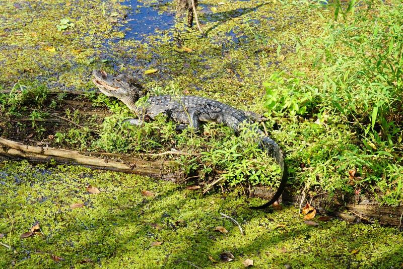 Babyalligator stock foto's