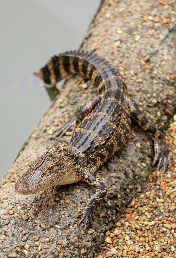 Babyalligator, der auf einer sandigen Bank stillsteht stockfoto