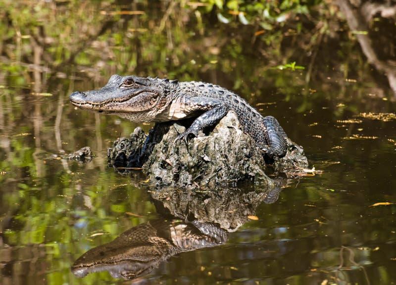 Babyalligator, der mitten in dem Sumpf liegt stockfotografie