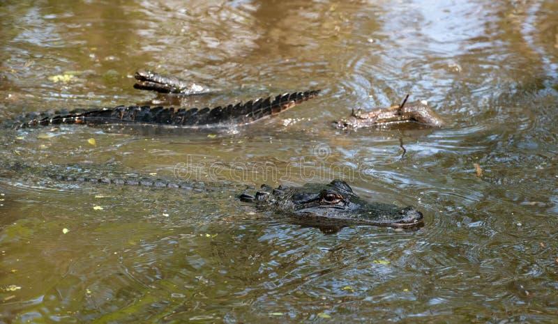 Babyalligator, der mitten in dem Sumpf liegt stockfoto