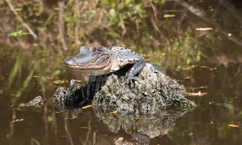 Babyalligator, der mitten in dem Sumpf liegt stockbilder