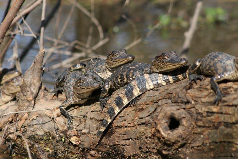 Babyalligators stock afbeelding