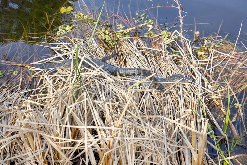 Babyalligators royalty-vrije stock fotografie
