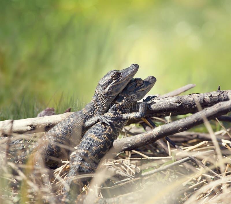 Babyalligatorsonnen stockbilder