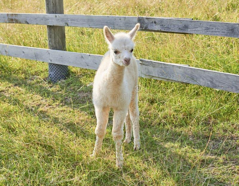 Babyalpaca die zich op gebied bevinden stock afbeeldingen