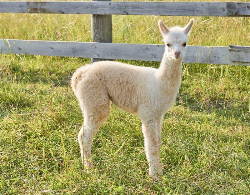 Babyalpaca die zich op gebied bevinden stock foto's