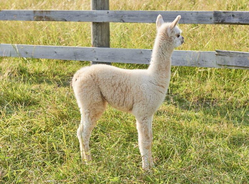 Babyalpaca die zich op gebied bevinden royalty-vrije stock afbeeldingen