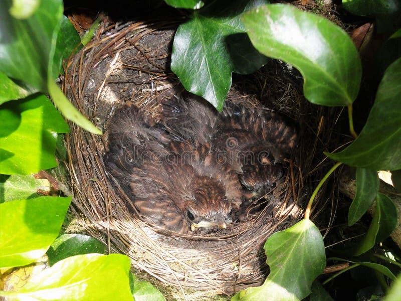 Babyamseln im Nest stockfoto