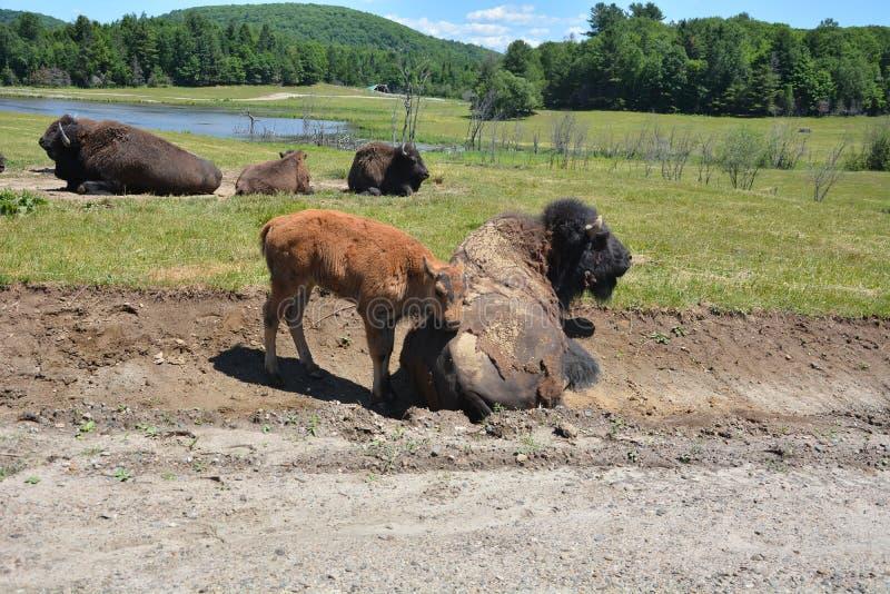 Babybüffel neben seinem Vati lizenzfreies stockfoto