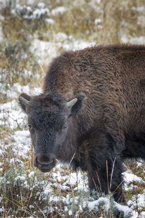 Babybizon in de Sneeuw stock foto's