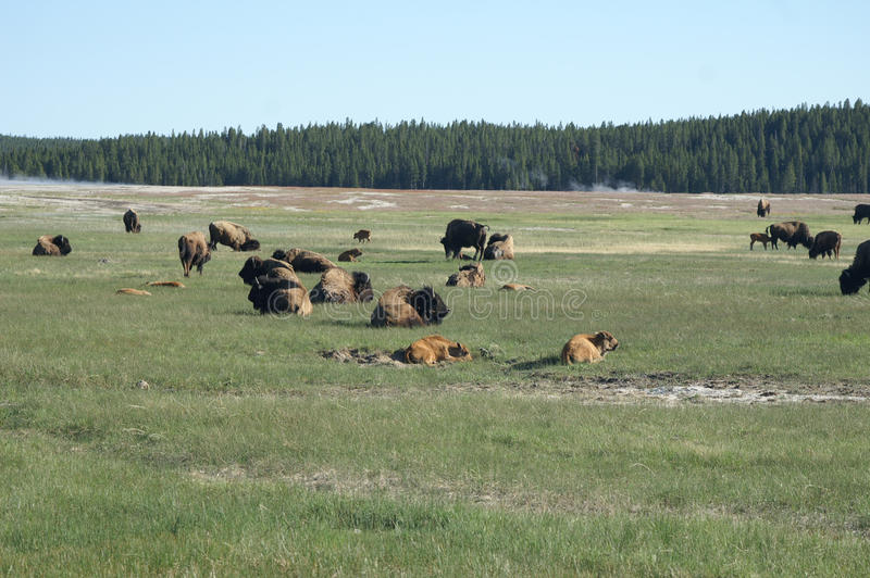 Babybizon die in Yellowstone rusten royalty-vrije stock fotografie
