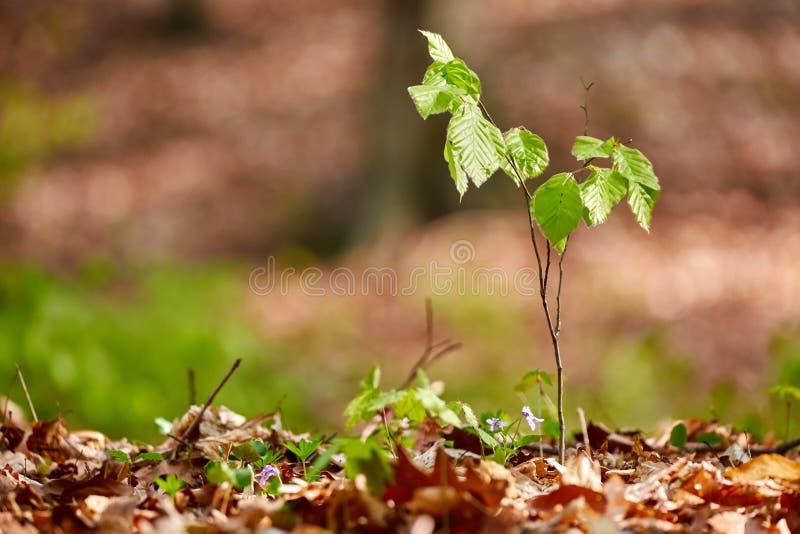 Babybuchenbaum im Wald stockfotografie