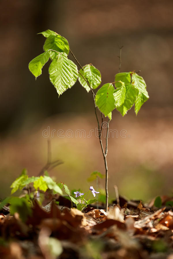 Babybuchenbaum im Wald lizenzfreie stockfotografie