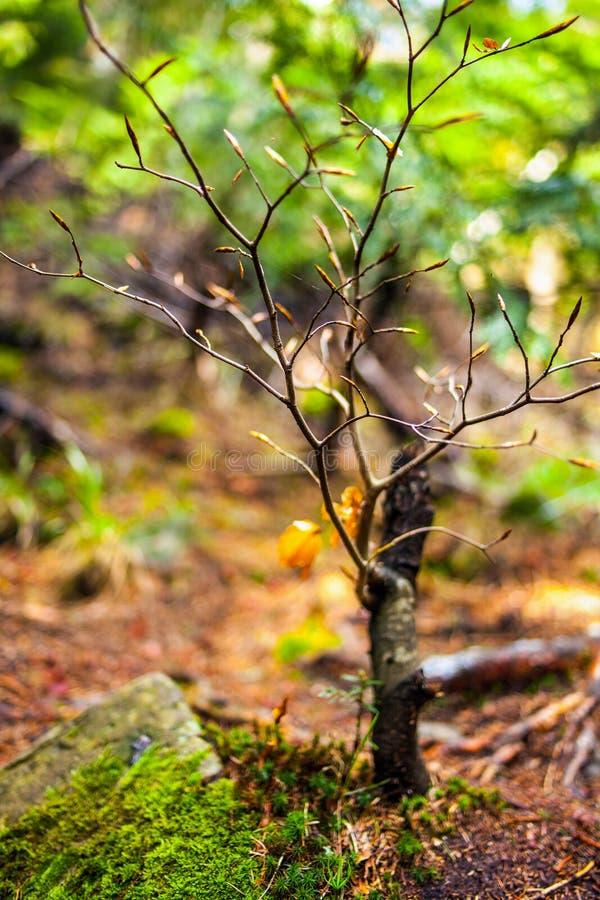 Babybuchenbaum mit selektivem Fokus stockfoto