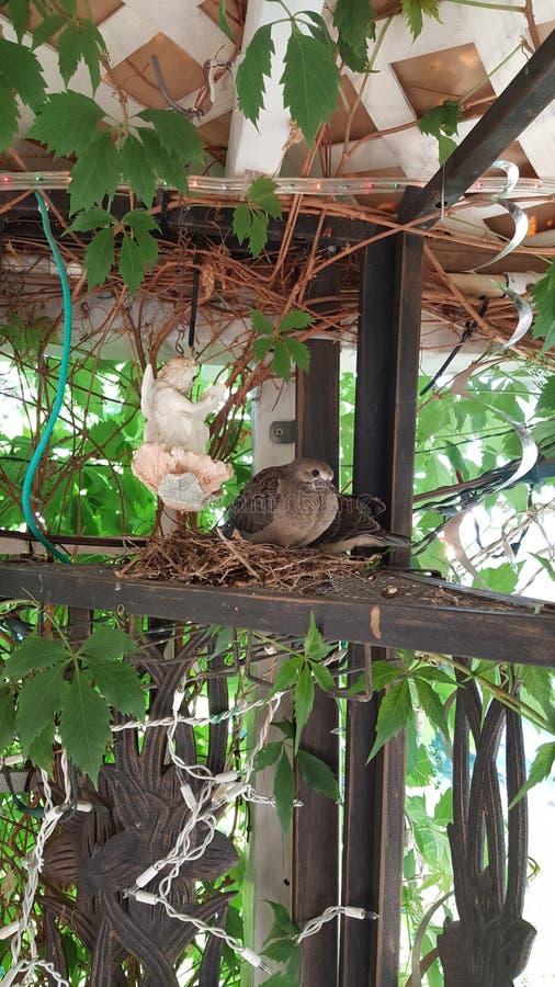 Babyduiven die in nest zitten stock foto