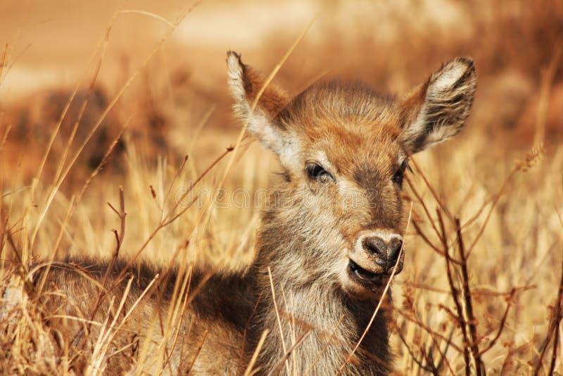 Babyelandantilope in de wildernis royalty-vrije stock afbeeldingen