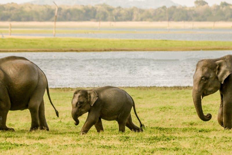 Babyelefant, der mit Schutz geht stockbild