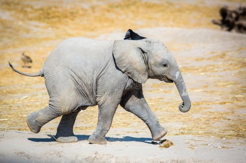 Babyelefant, der seitlich läuft lizenzfreie stockbilder