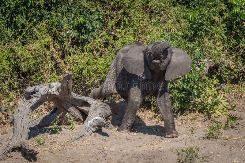 Babyelefant, der unbeholfen über toten Klotz tritt lizenzfreie stockbilder