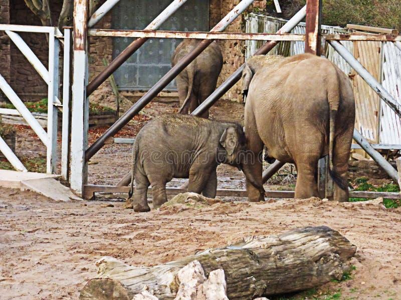 Babyelefant, der zu seiner Mutter geht stockfoto