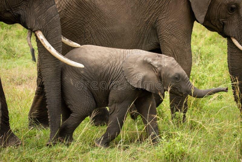 Babyelefant erhält vorwärts durch Mutter getrieben lizenzfreies stockbild