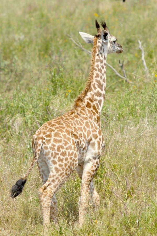Babygiraf in de Tanzaniaanse savanne royalty-vrije stock afbeeldingen