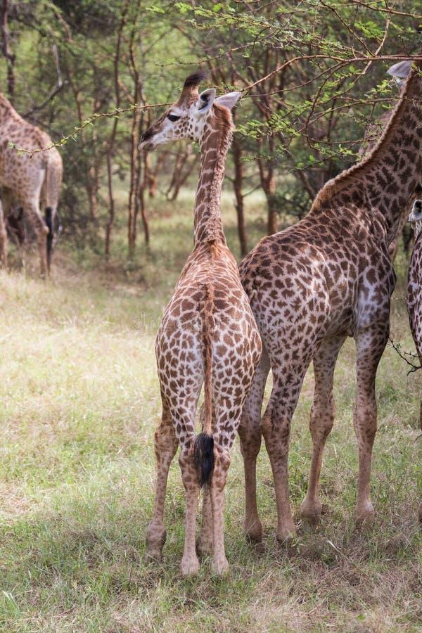 Babygiraf die zich achter een andere jonge giraf bevinden royalty-vrije stock foto