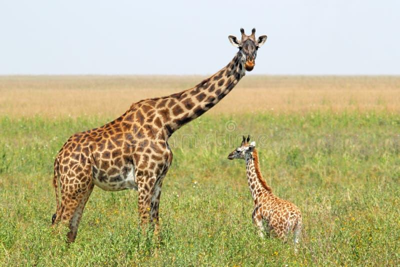 Babygiraf en moeder royalty-vrije stock afbeelding