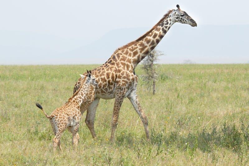 Babygiraf met moeder stock afbeelding