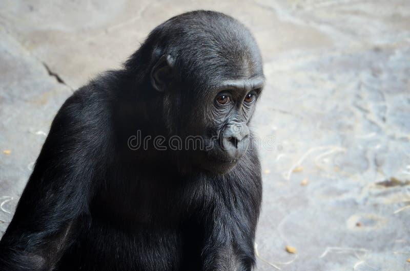 Babygorilla royalty-vrije stock afbeeldingen