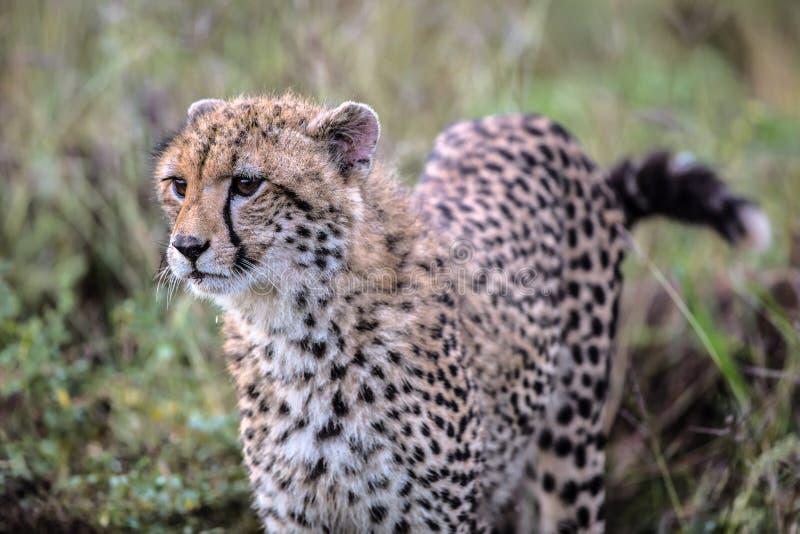 Babyjachtluipaard in het Nationale Park van Kruger stock foto's