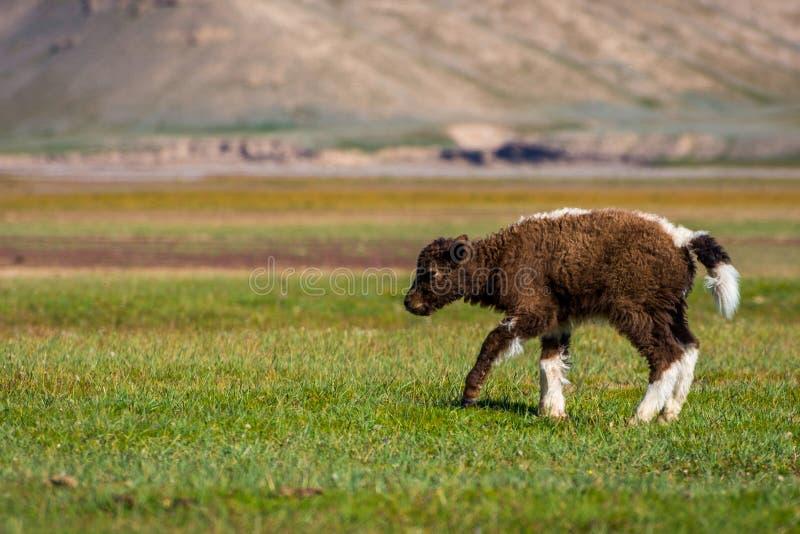 Babyjakken in het weiland royalty-vrije stock afbeelding