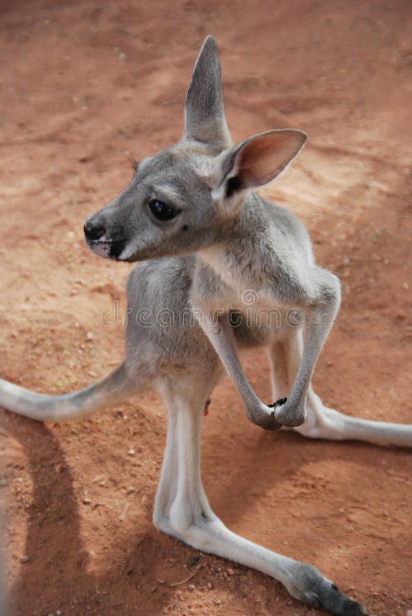 Babykänguruh joey stockfotografie